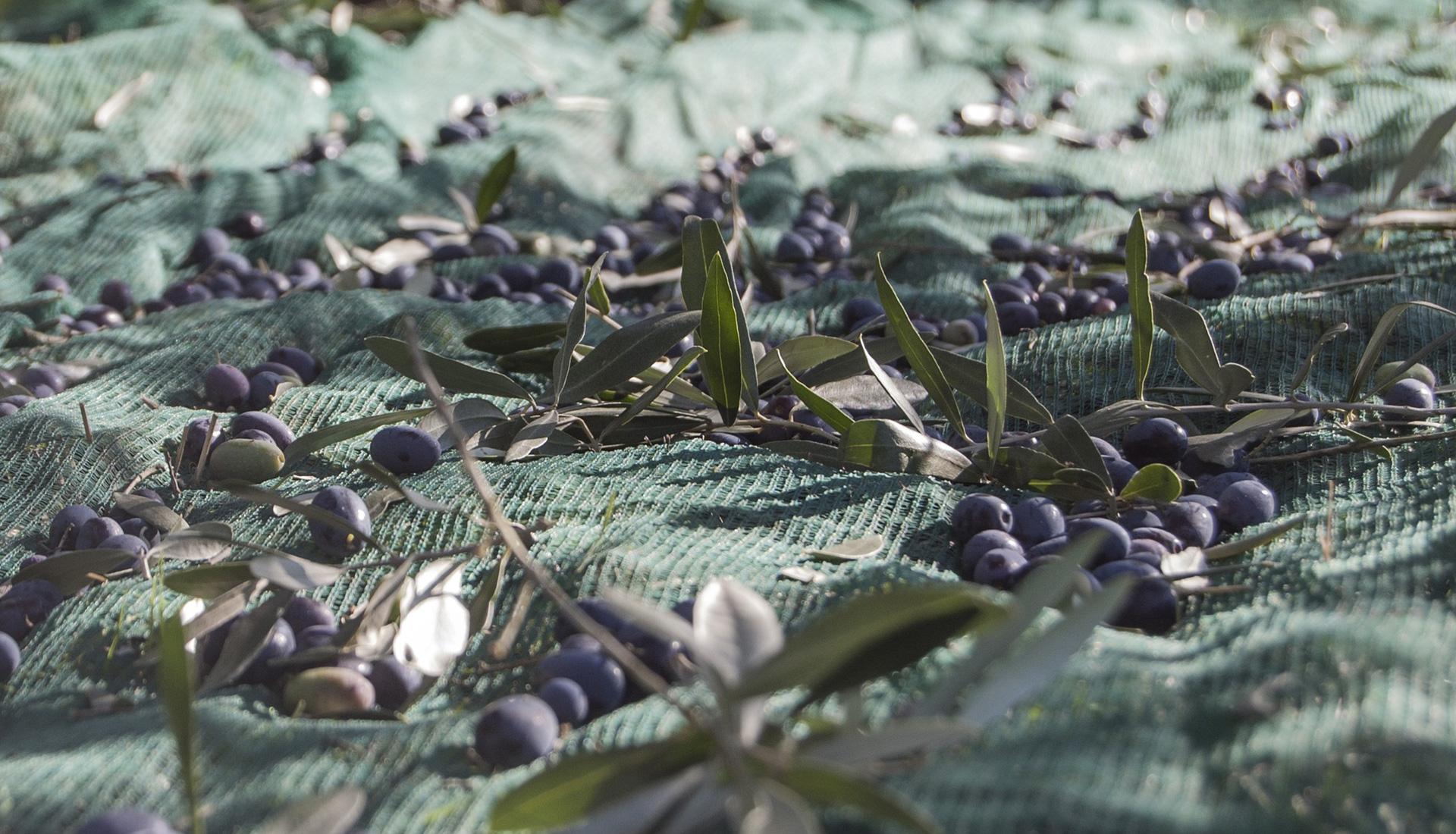 olio di oliva bevagna umbria